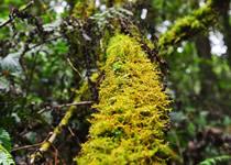 树苔精提物